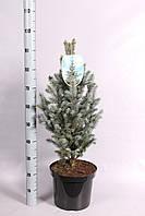 Ель голубая (колючая) -- Picea pungens  P28/H65