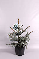 Ель голубая (колючая) Эрих Фрам -- Picea pungens Erich Frahm  P26/H50