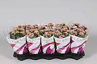 Каланхоэ Блоссфельда Calandiva розовый -- Kalanchoe blossfeldiana Calandiva Pink  P510/H22
