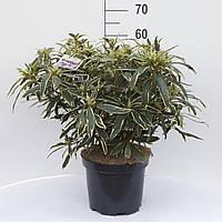 Рододендрон (азалия) -- Rhododendron  P26/H60