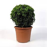 Самшит вечнозеленый -- Buxus sempervirens  P23/H45