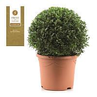 Самшит вечнозеленый -- Buxus sempervirens  P23/H47