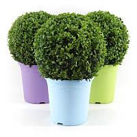 Самшит вечнозеленый -- Buxus sempervirens  P23/H48