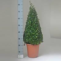 Самшит вечнозеленый -- Buxus sempervirens  P23/H50
