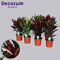 Кордилина микс -- Cordyline mixed  P19/H55