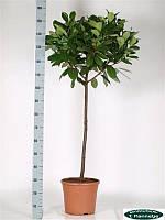 Лавровишня лекарственная Новита -- Prunus laurocerasus Novita  P35/H155