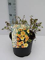 Лапчатка (пятилистник) кустарниковая -- Potentilla frut.  P19/H25