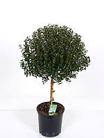 Мирт обыкновенный -- Myrtus communis  P15/H50