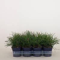 Сосна горная -- Pinus mugo  P11/H15