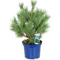 Сосна обыкновенная Ватерери -- Pinus sylvestris Watereri  P23/H50