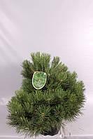 Сосна чёрная Нана -- Pinus nigra Nana  P36/H60