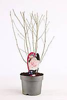 Гибискус -- Hibiscus  P19/H50