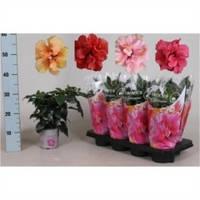 Гибискус китайский микс -- Hibiscus rosa-sinensis mixed  P13/H45
