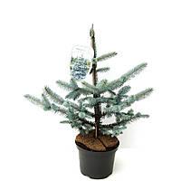 Ель голубая (колючая) Хупси -- Picea pungens Hoopsii  P23/H60