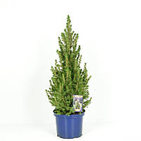Ель сизая Коника -- Picea glauca Conica  P23/H60