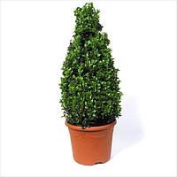 Самшит вечнозеленый -- Buxus sempervirens  P23/H65