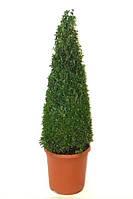 Самшит вечнозеленый -- Buxus sempervirens  P23/H70