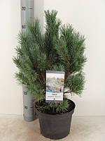 Сосна обыкновенная Ватерери -- Pinus sylvestris Watereri  P23/H60
