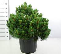 Сосна чёрная Нана -- Pinus nigra Nana  P40/H40
