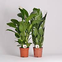 Спатифиллум Вивальди -- Spathiphyllum Vivaldi  P17/H75
