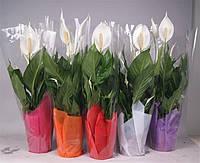 Спатифиллум Свит Сильвио -- Spathiphyllum Sweet Silvio  P14/H60