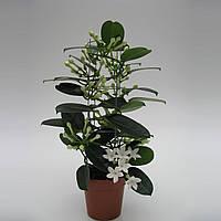 Стефанотис обильноцветущий -- Stephanotis floribunda  P12/H45