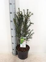 Тис ягодный -- Taxus baccata  P19/H65