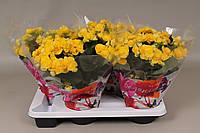 Бегония элатиор Ребекка -- Begonia elatior Rebecca  P17/H35