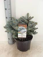 Ель голубая (колючая) Глаука Глобоза -- Picea pungens Glauca Globosa  P23/H45