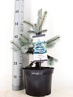 Ель голубая (колючая) Хупси -- Picea pungens Hoopsii  P23/H70