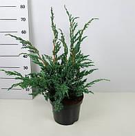 Можжевельник Мейери -- Juniperus Meyeri  P26/H65