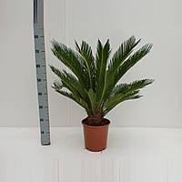 Пальма цикас Революта -- Cycas Revoluta  P21/H70