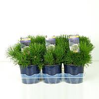 Сосна горная -- Pinus mugo  P15/H20