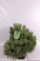 Сосна чёрная Нана -- Pinus nigra Nana  P40/H75