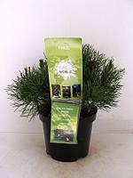 Сосна горная Пумилио -- Pinus mugo Pumilio  P19/H35