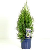Туя западная Смарагд -- Thuja occidentalis Smaragd  P17/H55