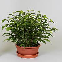 Фикус Бенджамина Natasja -- Ficus benjamina Natasja  P17/H25