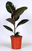 Фикус эластика Робуста -- Ficus elastica Robusta  P17/H60