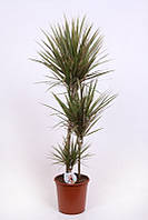 Драцена маргината Bicouler -- Dracaena marginata Bicouler  P24/H115
