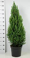 Ель сизая Коника -- Picea glauca Conica  P31/H125