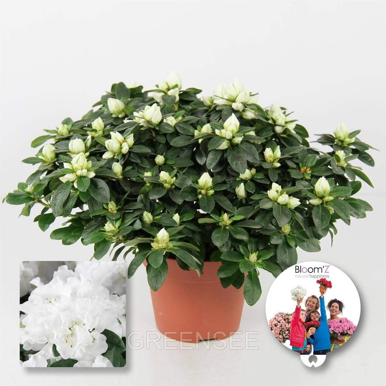 Цветы рододендроны купить цена, цветы комнатные каталог купить недорого украина