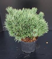 Сосна обыкновенная Ватерери -- Pinus sylvestris Watereri  P26/H50