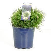 Сосна горная -- Pinus mugo  P17/H25