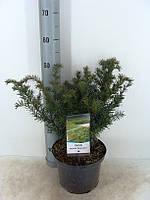 Тис ягодный Репанденс -- Taxus baccata Repandens  P23/H50