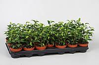 Фикус Бенджамина Natasja -- Ficus benjamina Natasja  P508/H20