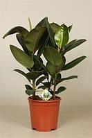 Фикус эластика Робуста -- Ficus elastica Robusta  P21/H50