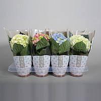 Гортензия крупнолистная микс -- Hydrangea macrophylla mixed  P13/H30