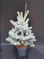 Ель голубая (колючая) Хупси -- Picea pungens Hoopsii  P26/H60