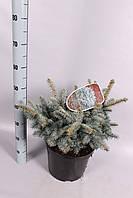 Ель голубая (колючая) Глаука Глобоза -- Picea pungens Glauca Globosa  P28/H40