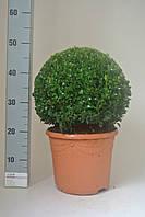 Самшит вечнозеленый -- Buxus sempervirens  P29/H50